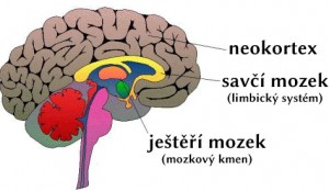Ještěří mozek, savčí mozek, neokortex